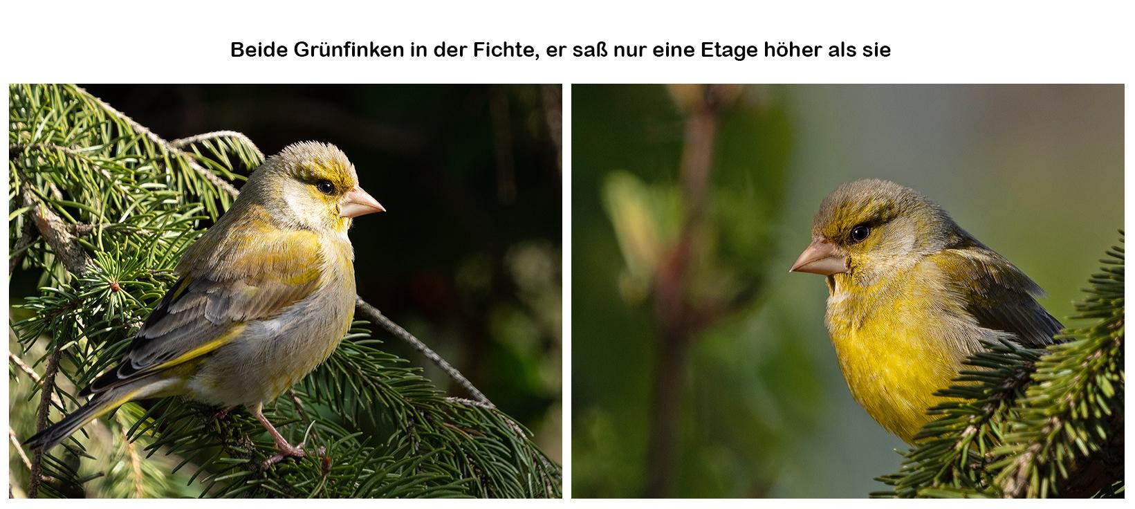 Grünfinken-Paar