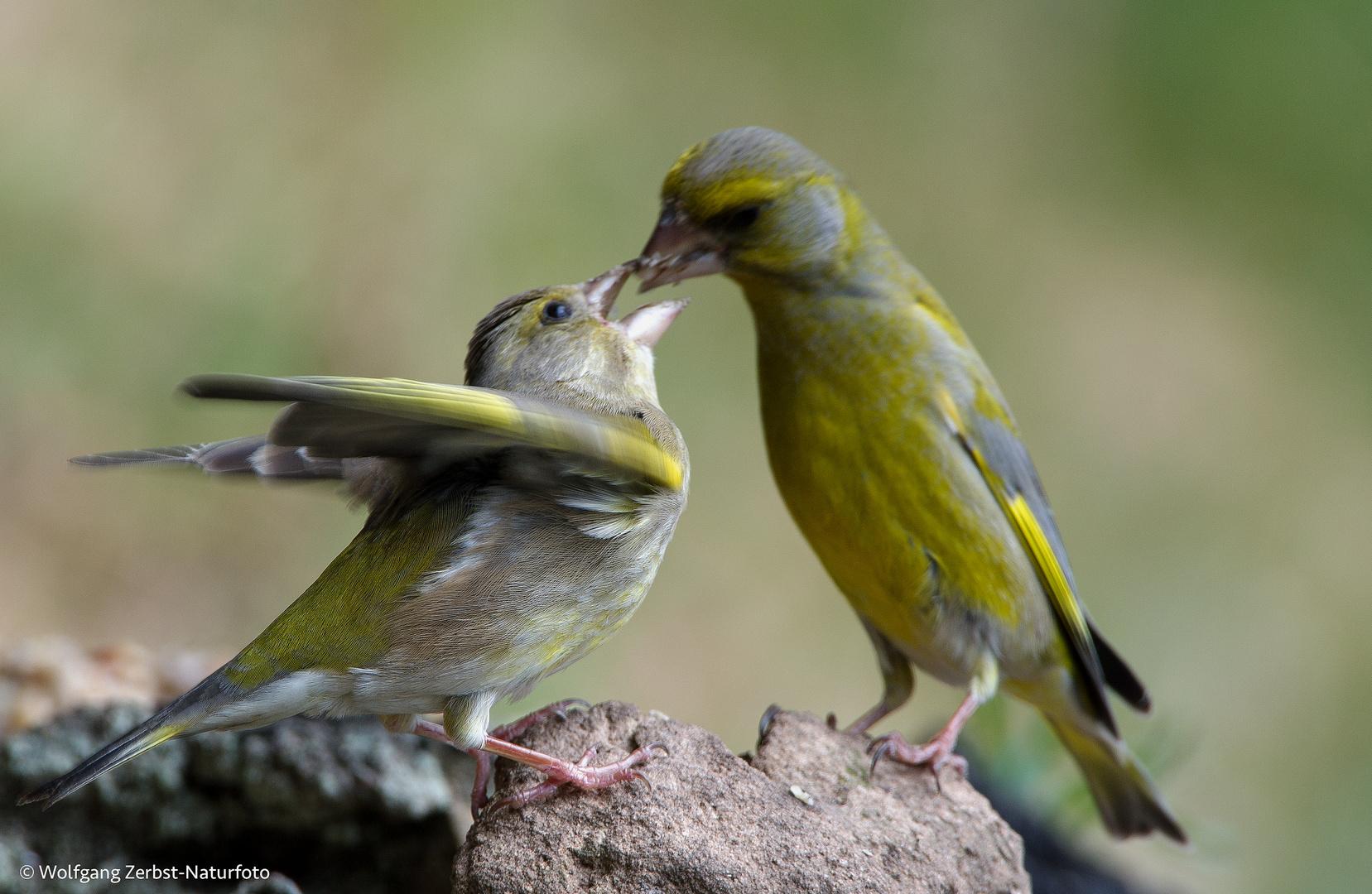 --- Grünfinken Paar ---   ( Carduelis cloris )