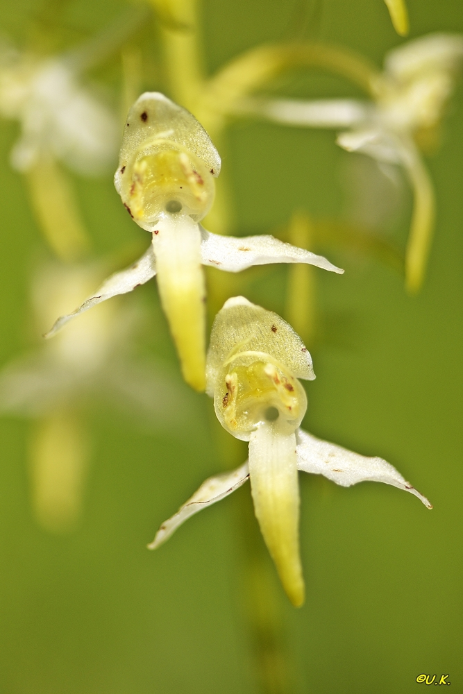 Grünliche Waldhyazinthe (Plathanthera chloranda) 1