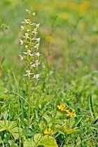 Grünliche Waldhyazinthe (Plathanthera chlorantha) 2