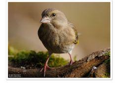 - Grünling weiblich - ( Carduelis chloris )