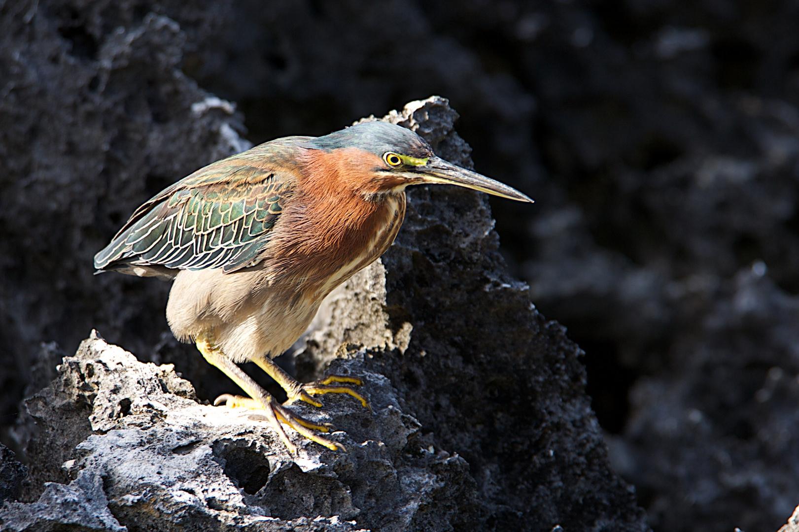 Grünreiher (Green Heron, Butorides virescens)