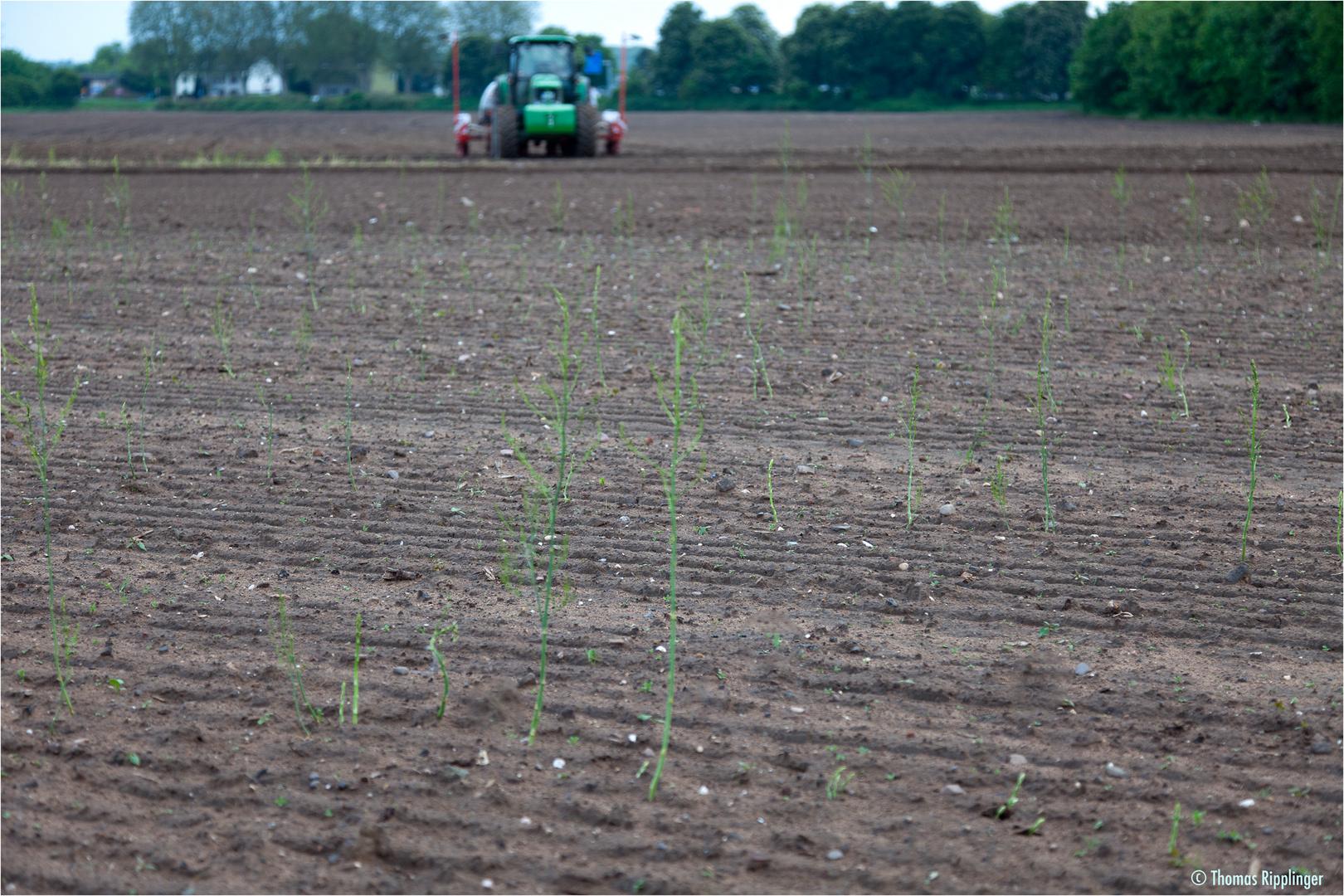 Grünspargel Neunapflanzung 2012