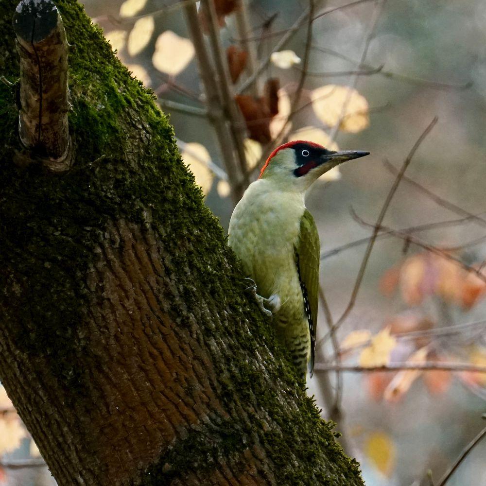 Grünspecht (Picus viridis)