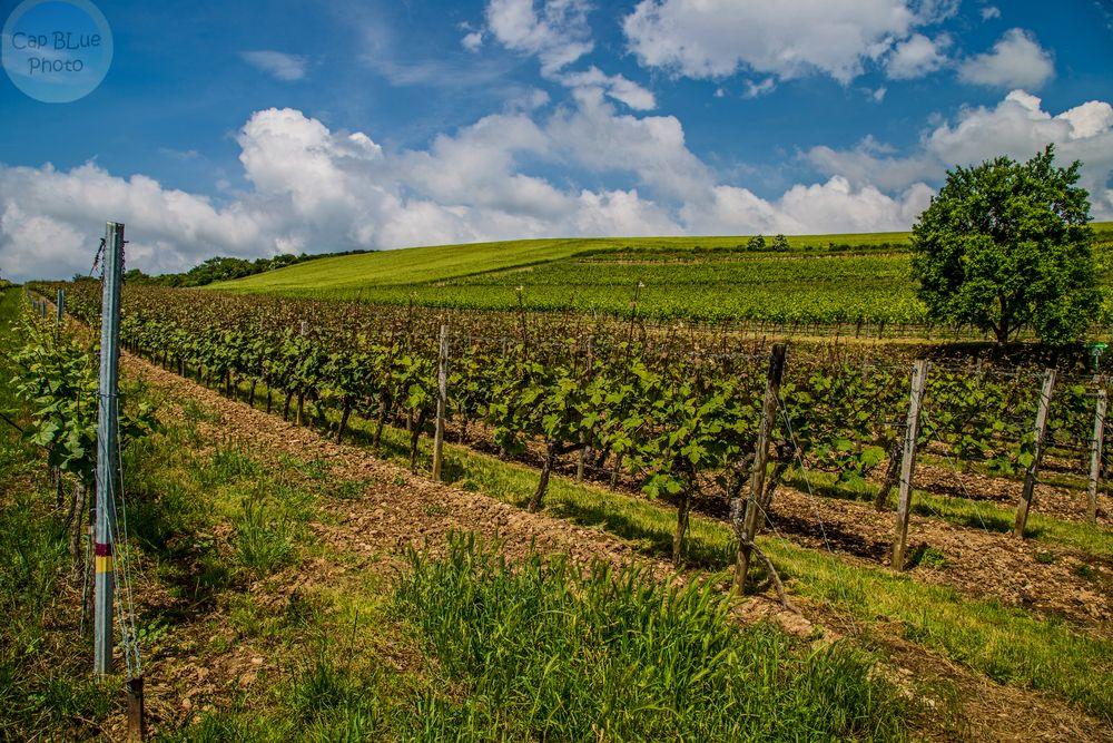 Grünstadt-Sausenheim Höllenpfad Weinwanderung