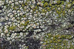 Grüsse aus dem Flechtenparadies! Krustenflechte (Lecanora sp. ?) * - La beauté des lichens!