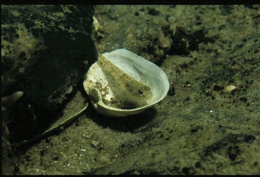 Grundel in der Muschel