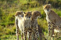 Gruppe junger Geparden Massai Mara. Kenia