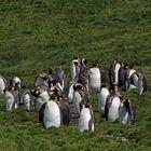 Gruppe Königspinguine auf Südgeorgien