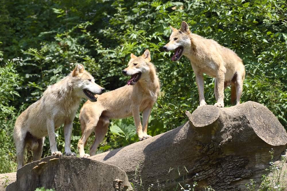 Gruppenbild mit Wolf und Wolf und Wolf...