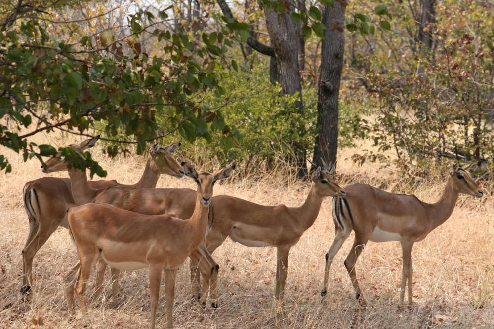 Gruppo di impala