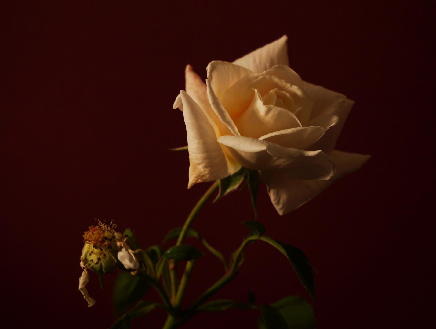 Gruß der Rose