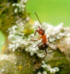 Gruß einer Ameise