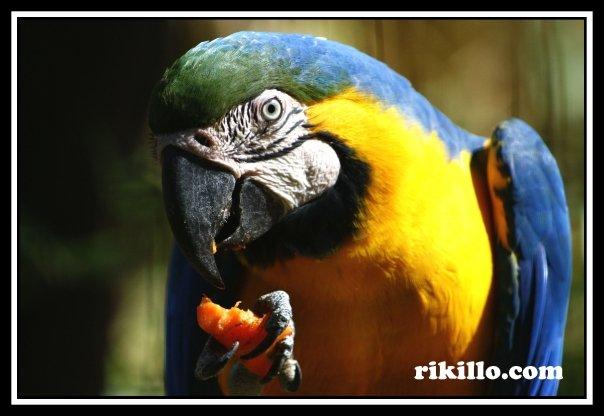 Gua´a Hovy (Idioma guarani) - Papagayo Azul