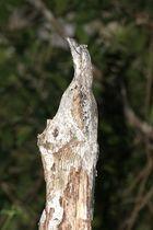 Guajojo - Nyctibius griseus - Common Potoo