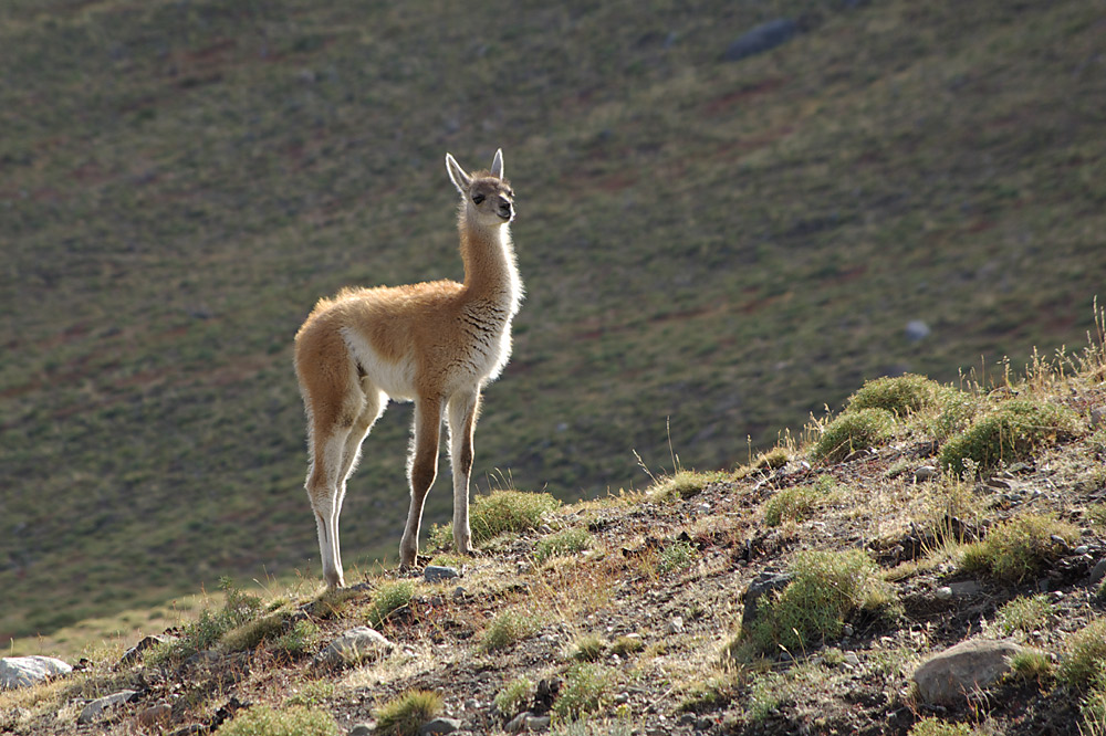 Guanaco im Torres del Paine Nationalpark