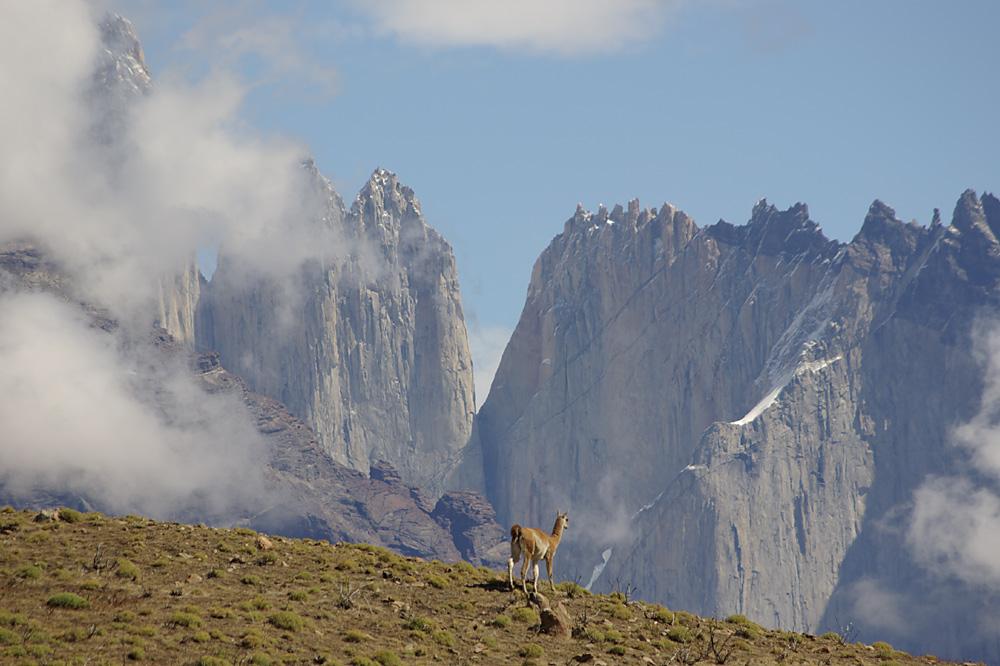 Guanaco im Torres del Paine Nationalpark II