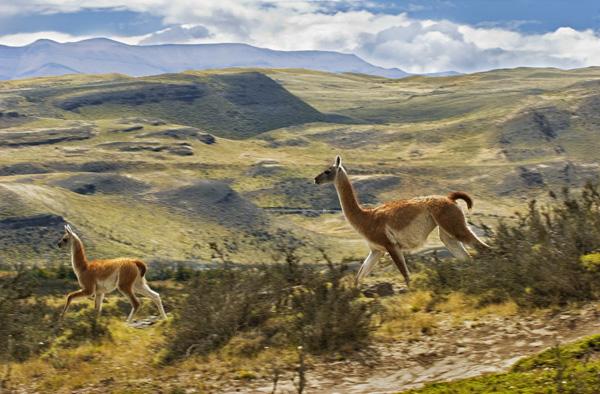 Guanacos Running