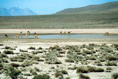 Guanakos im Altiplano