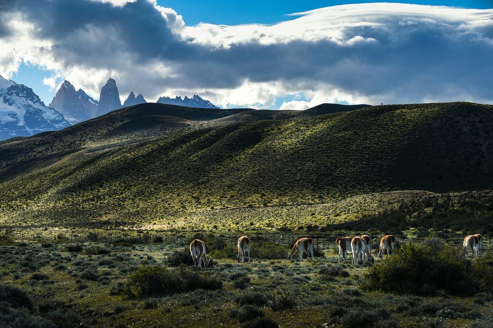 Guanakos, Torres del Paine                      DSC_6153