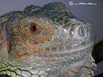 Guanita l'iguana