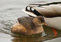 Guck mal die Ente hat ein KInd..