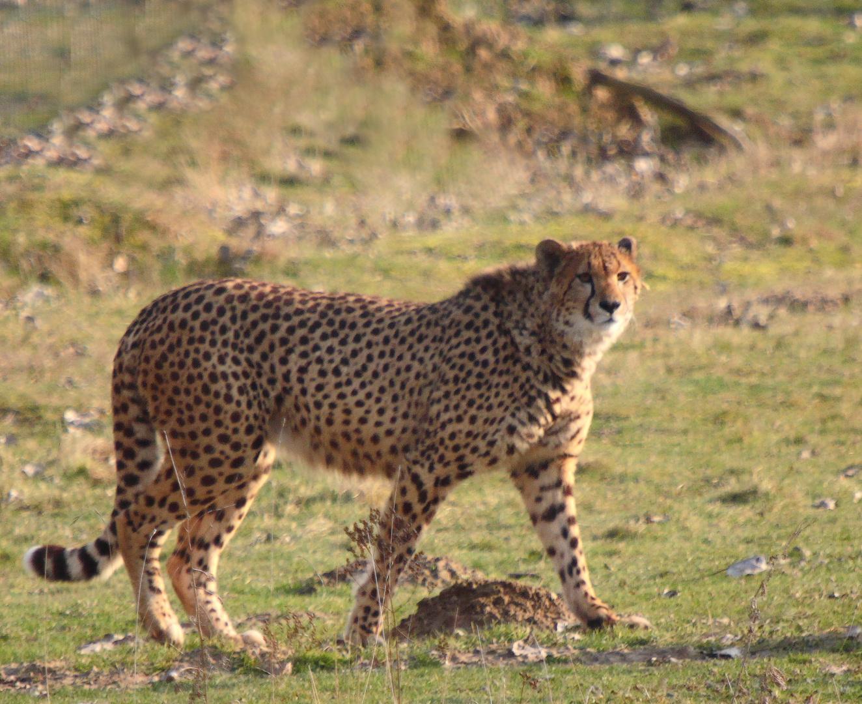Guépard d'Afrique