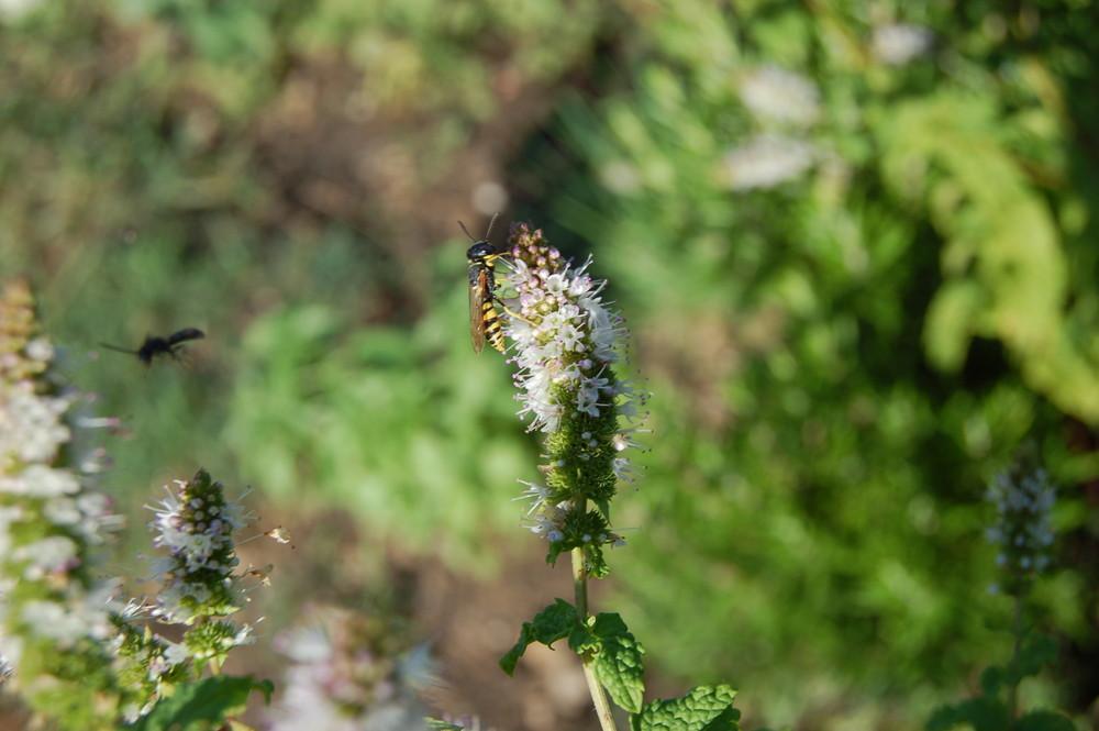 guèpe sur fleur de menthe