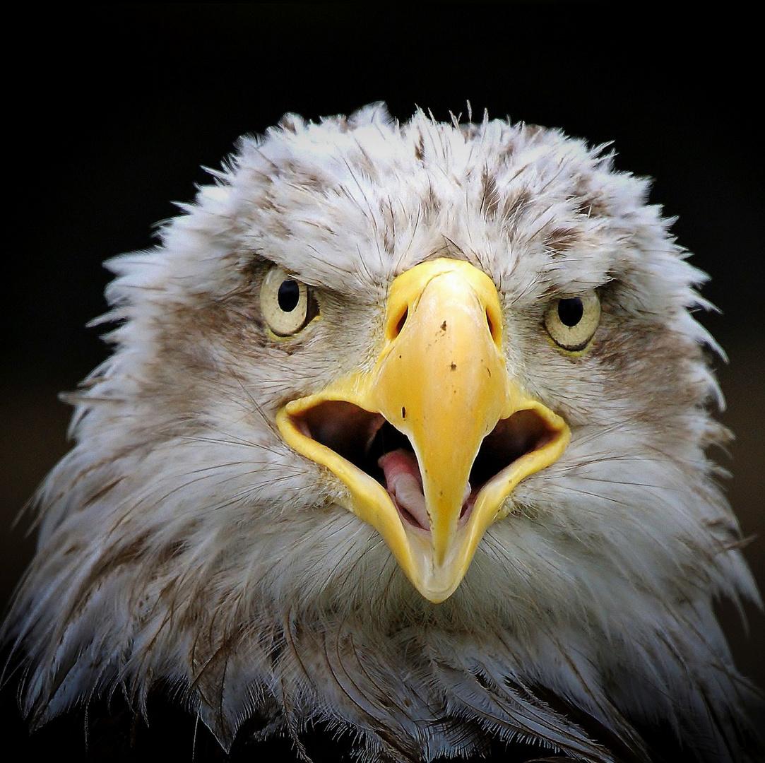 Águila calva (Haliaeetus leucocephalus)
