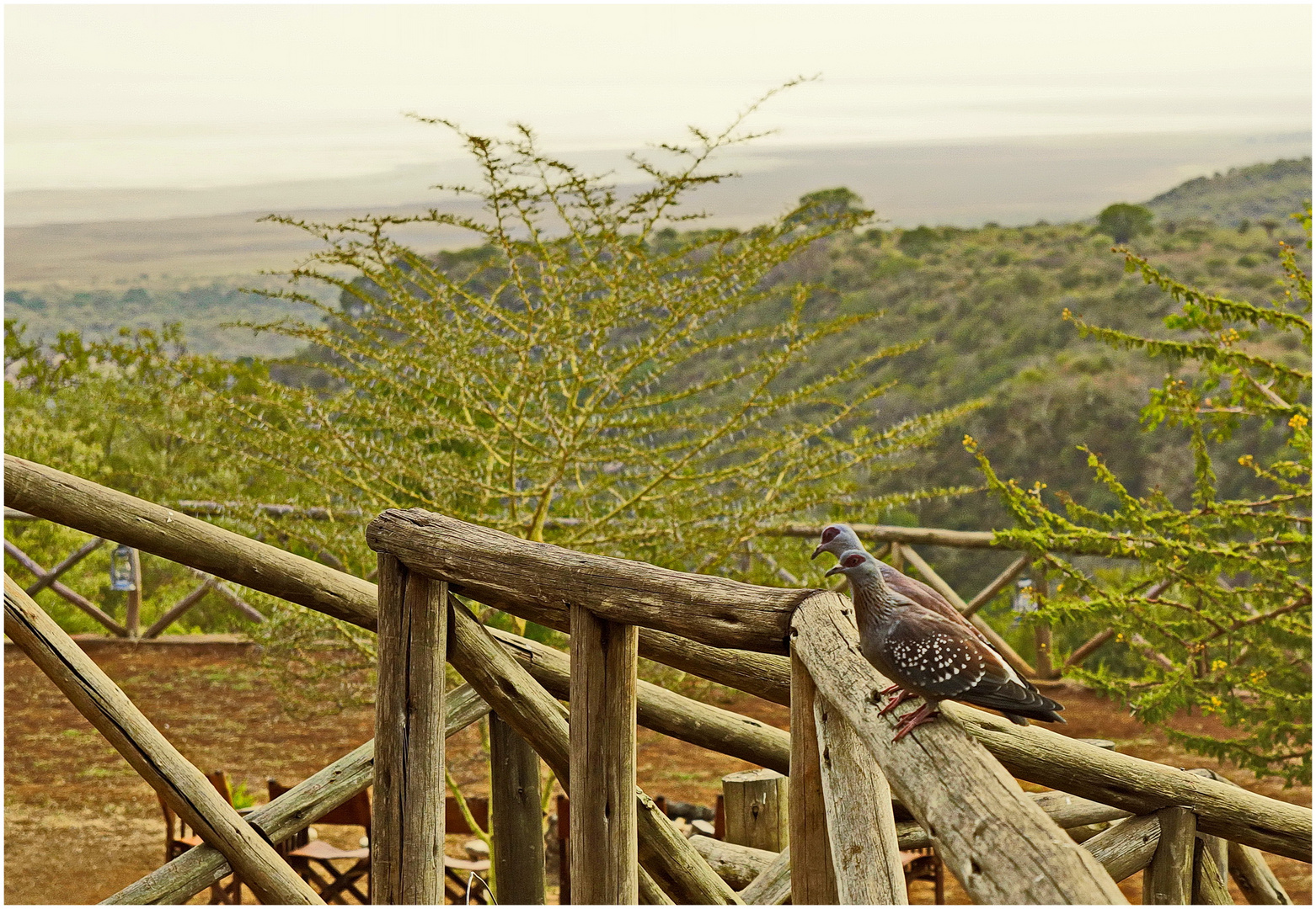 Guineatauben am Rift Valley