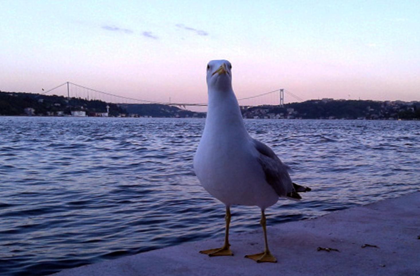 gulls and Istanbul Strait