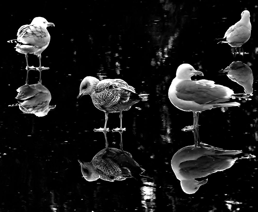 Gulls on thin ice
