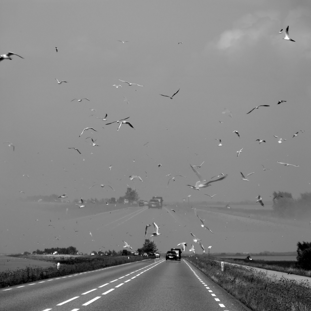 Gulls over the highway