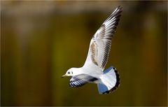Gullwing