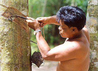 gummibaum-bauer kian,thailand