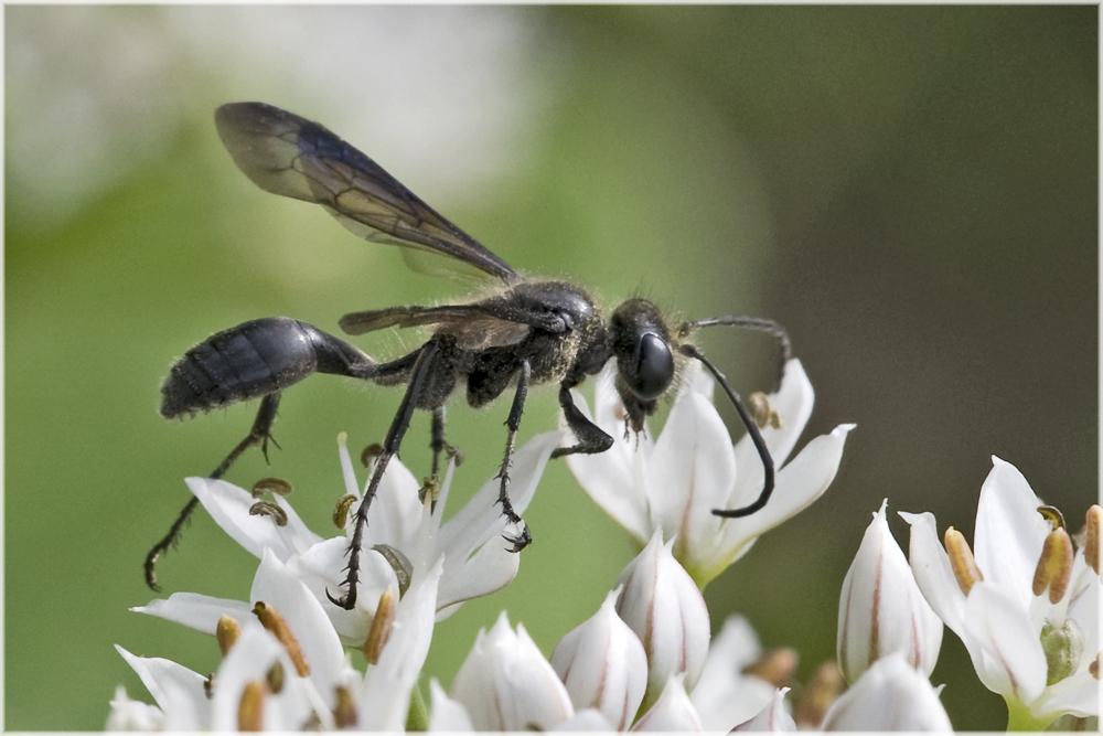 Guêpe Isodontia mexicana