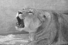 Gut gebrüllt Löwin