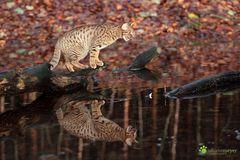 Gut gebrüllt Tiger