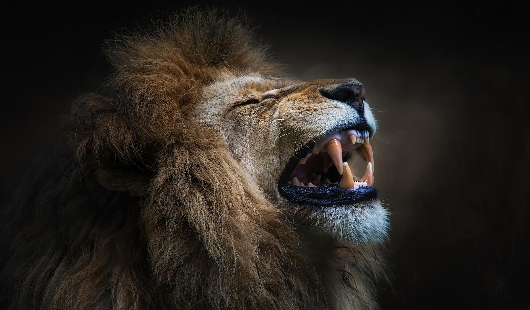 Gut gegähnt Löwe
