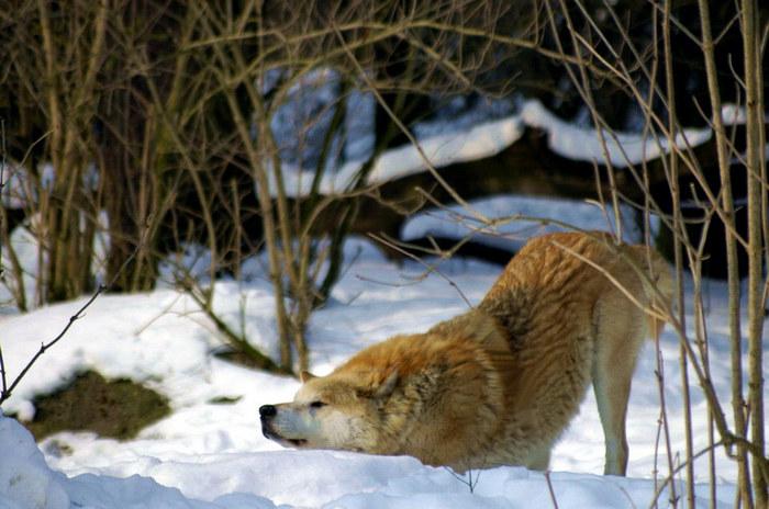 Gut geheult Wolf