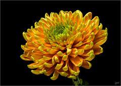 Gut gelaunte Chrysantheme