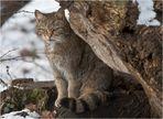 Gut getarnt: Hessische Wildkatze (1)
