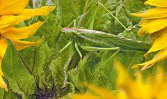 Gut getarnte Heuschrecke im Sonnenblumenfeld!
