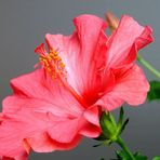 Gut überwintert - und schon die erste Blüte ...