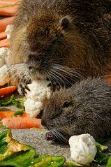 Guten Appetit! Nutrias im Gemüserausch.