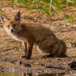 Guten Tag mein lieber Fuchs - heut gibts wohl Fisch?