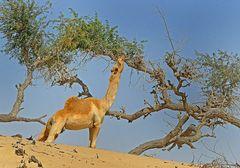 Gutes Futter in den Ghaf-Bäumen