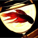 Guy, le plus beau des poisson