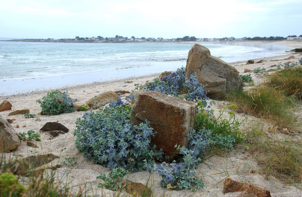Gâvres (Bretagne) - chardons bleus