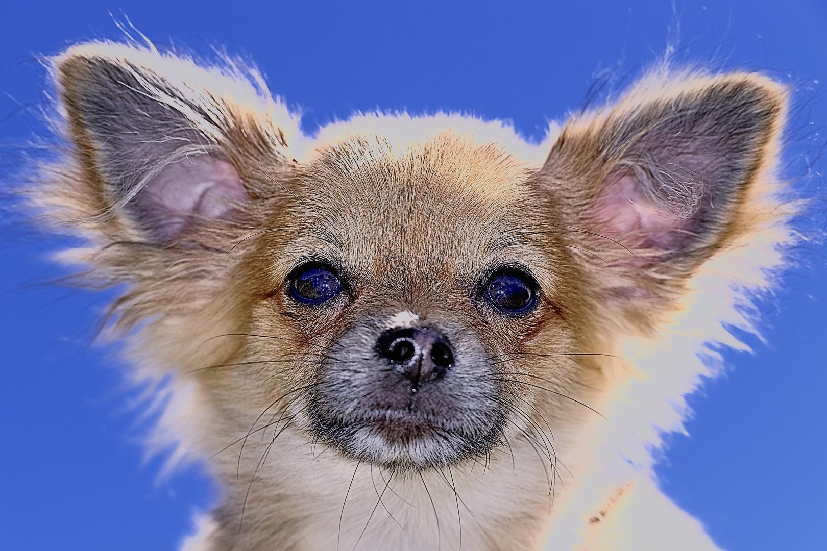 Gyuri. El Chihuahua